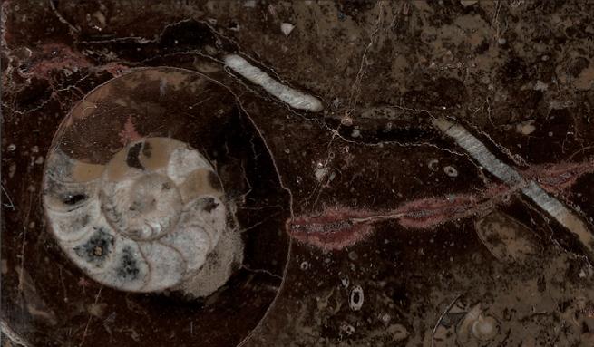 marron-fosile